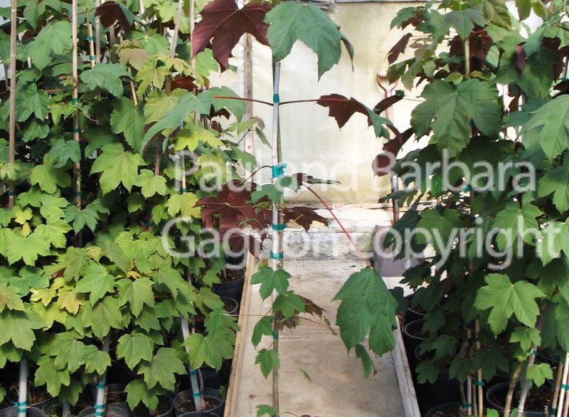 Mapletree Hellas Δέντρα Σφένδαμου 10