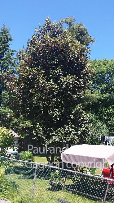 Mapletree Hellas Δέντρα Σφένδαμου 18