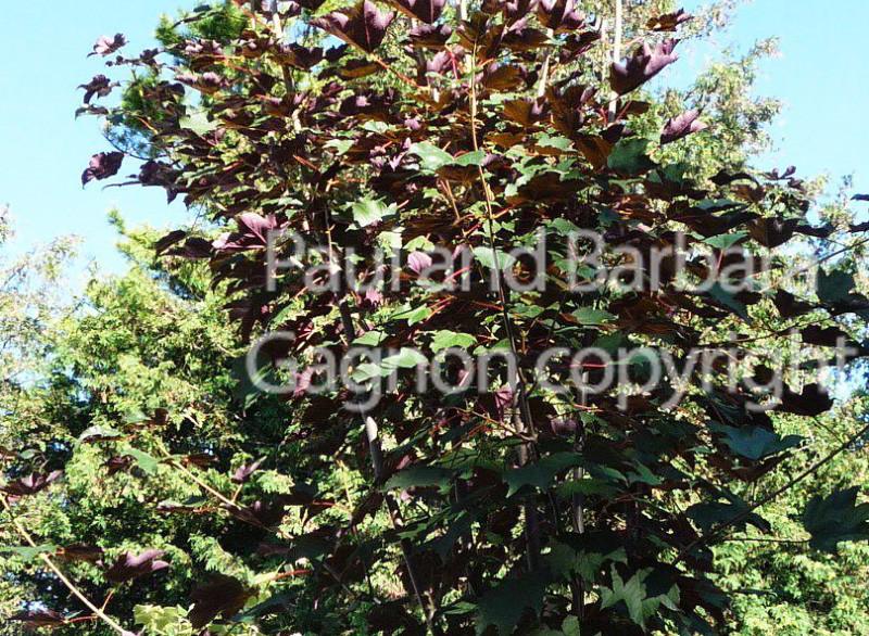Mapletree Hellas Δέντρα Σφένδαμου 21