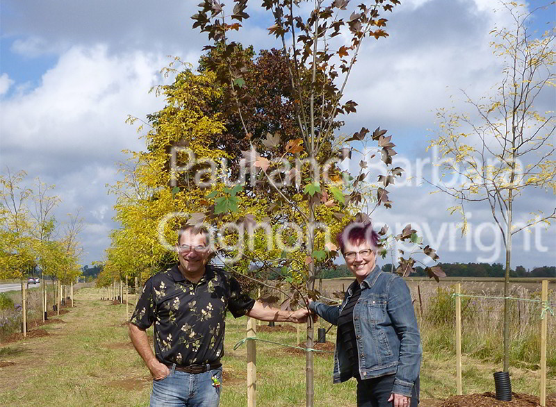 Mapletree Hellas Δέντρα Σφένδαμου 25