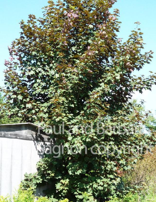 Mapletree Hellas Δέντρα Σφένδαμου 32