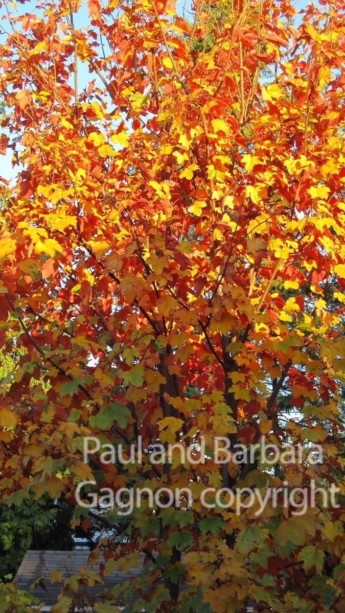 Mapletree Hellas Δέντρα Σφένδαμου 40