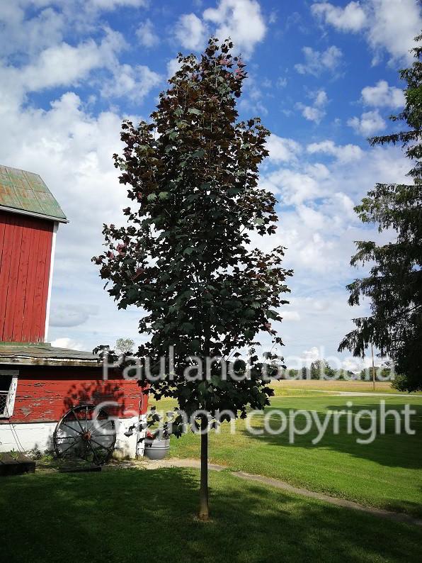 Mapletree Hellas Δέντρα Σφένδαμου 45