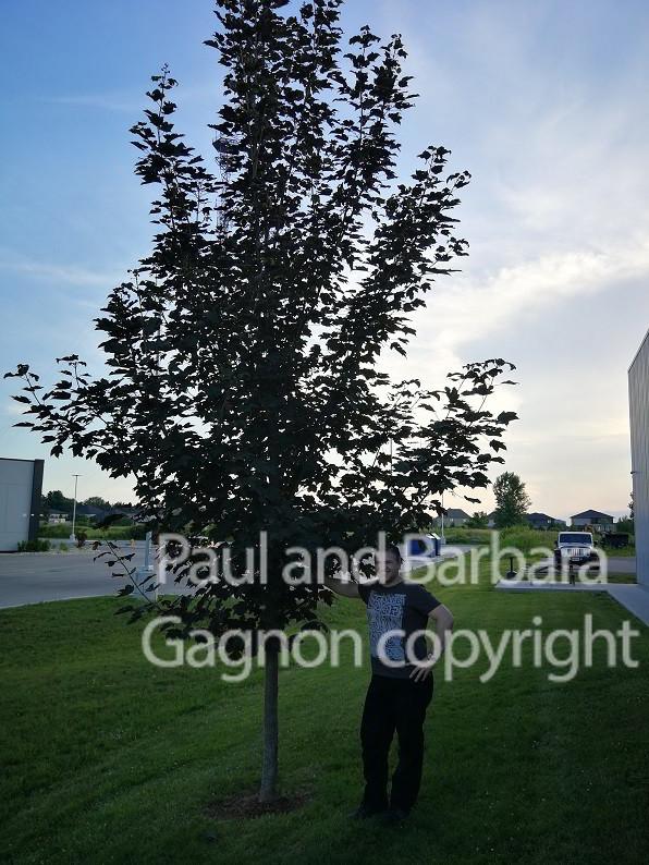 Mapletree Hellas Δέντρα Σφένδαμου 47