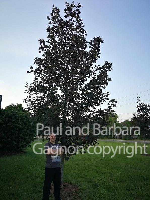 Mapletree Hellas Δέντρα Σφένδαμου 48