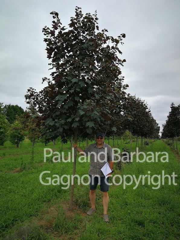 Mapletree Hellas Δέντρα Σφένδαμου 50