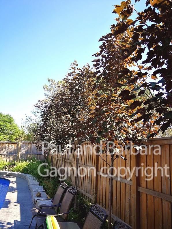 Mapletree Hellas Δέντρα Σφένδαμου 51