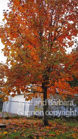 Mapletree Hellas Δέντρα Σφένδαμου 52