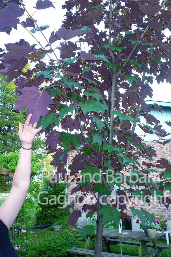 Mapletree Hellas Δέντρα Σφένδαμου 54